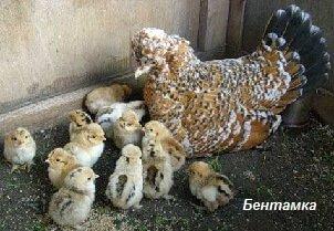 Бентамка с цыплятами.