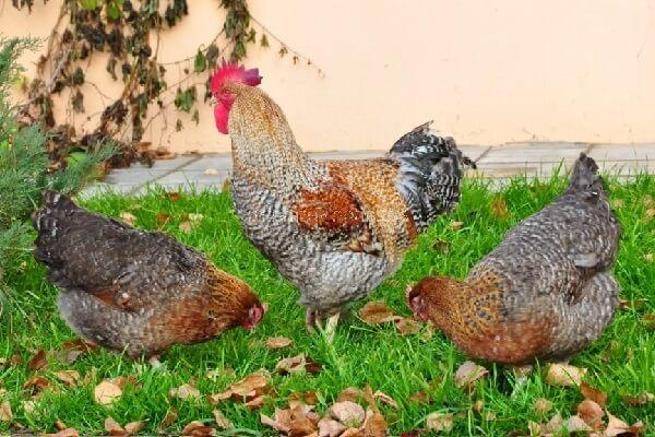 Билефельдер порода кур – описание, фото и видео.