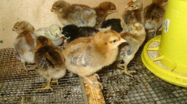 Билефельдер цыплята.