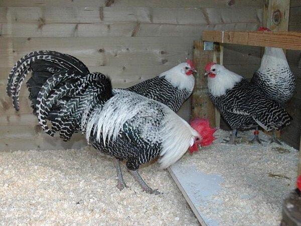 Петух и курицы породы Брекель Серебристый.