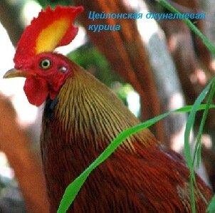 Цейлонская джунглевая курица.