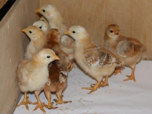 Недельные цыплята Фокси Чик.