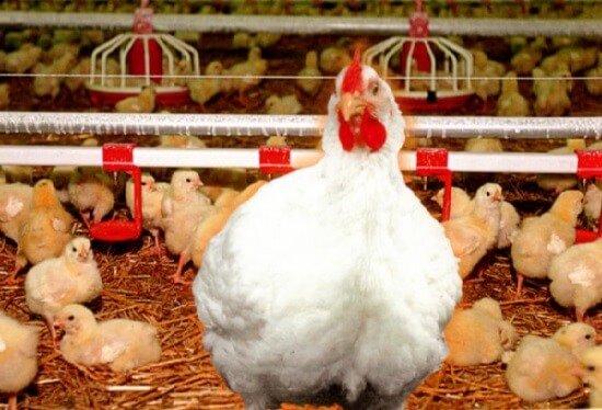 Цыплята и несушка Иза Хаббард ф 15.