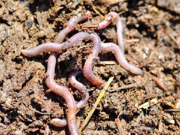 Кормление кур дождевыми червями.