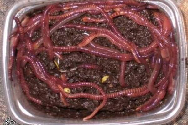 Кормление кур навозными червями.