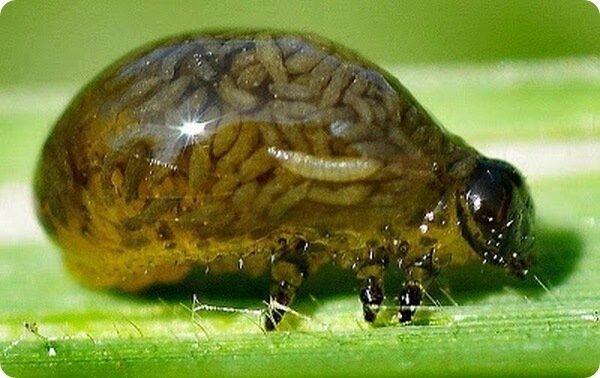 Кормление кур личинками насекомых.