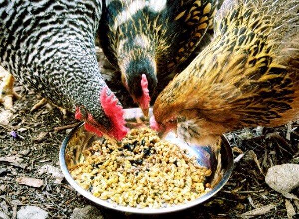 Кормление кур опарышами и способы их вырастить.