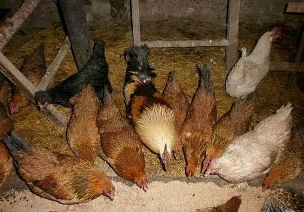 Кормление куриц несушек в домашних условиях