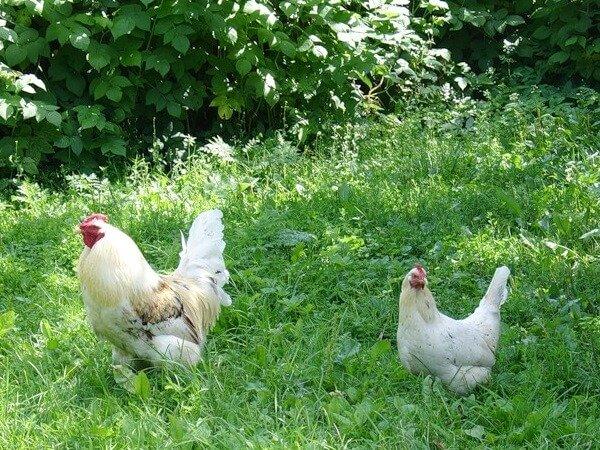 Курица и петух на прогулке.