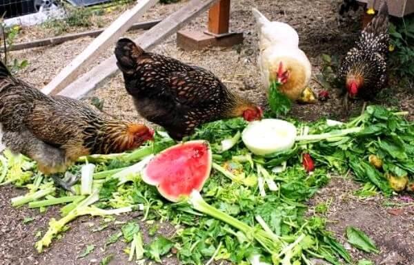 Витаминное кормление кур летом.