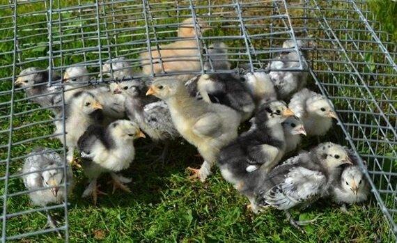 Цыплята породы Лакенфельдер.