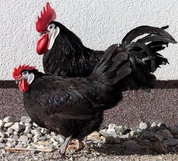 Испанская белолицая курица с петухом.