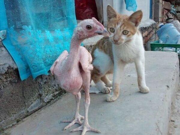 Как выглядит лысая порода кур? Котенок в шоке!