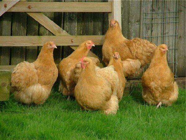 Орпингтон порода кур – описание, фото и видео.