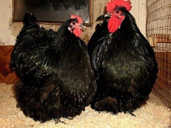 Орпингтон порода кур – черный окрас.