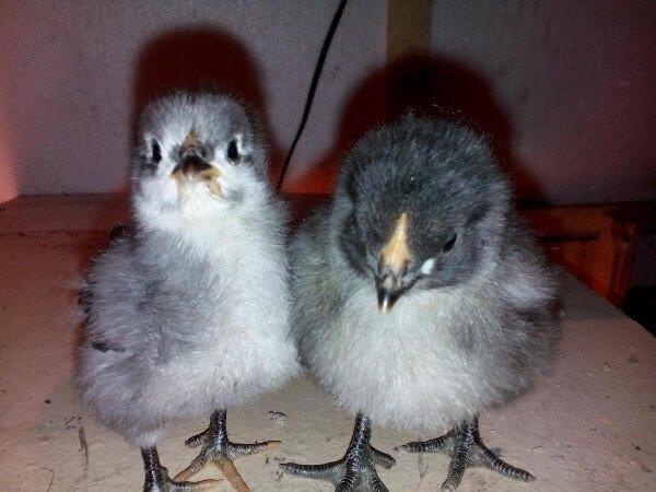 Цыплята Орпингтон.