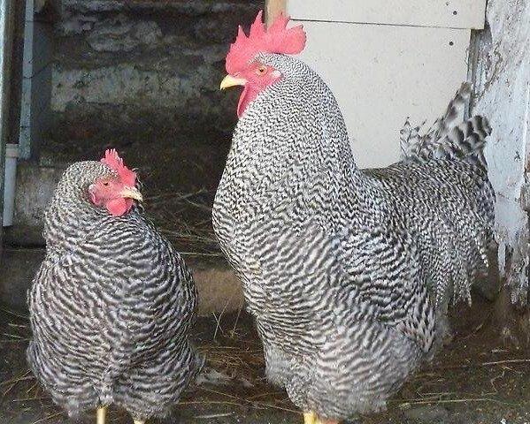 Курица и петух породы Плимутрок полосатый.