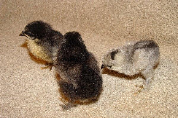 Цыплята породы Бреда.