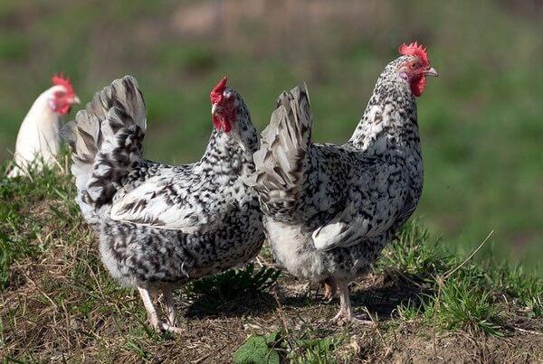 Пушкинская порода кур – описание, фото и видео.