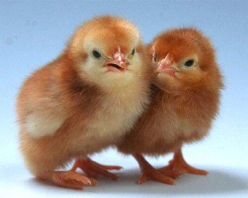 Суточные цыплята породы Редбро.