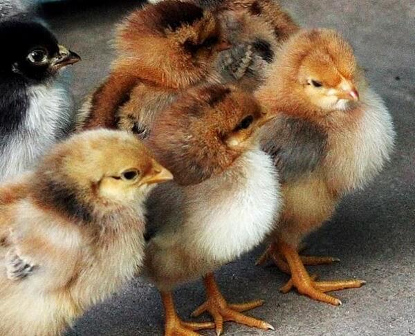 Цыплята Родонит.