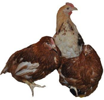 Родонит порода кур несушек.