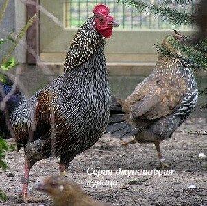 Серая джунглевая курица.