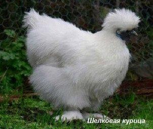Шелковая курица. Домашние куры и их родственники.