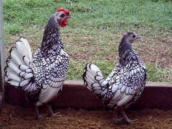 Петух и курица породы Сибрайт.