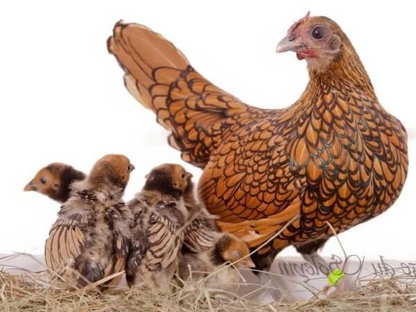 Сибрайт порода кур – описание, фото и видео.