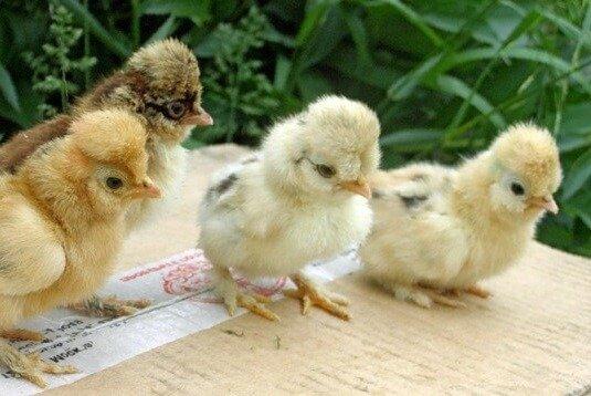 Вестфальский Тотлегер цыплята.