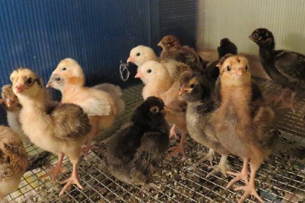 Цыплята Амераукана.