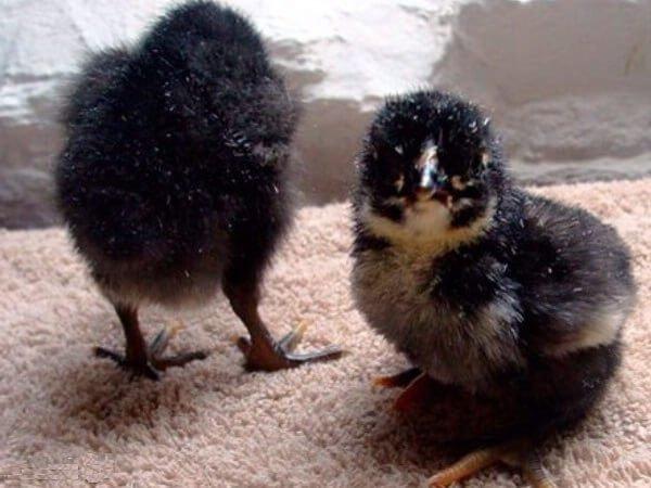 Суточные цыплята Барбезье. Барбезье порода кур – описание, фото и видео.