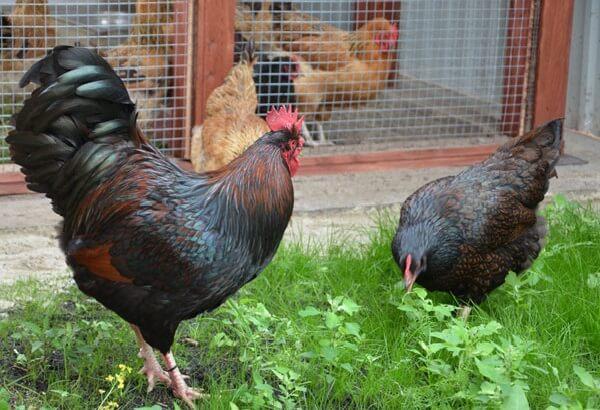 Барневельдер порода кур – описание, фото и видео.