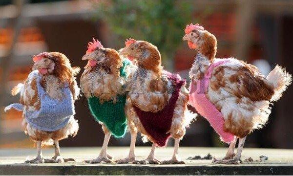 Как заработать на курином бизнесе – поэтапный план.