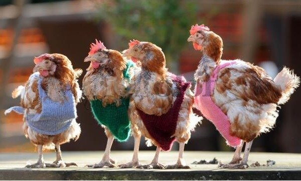 Бизнес план на разведение куриц и цыплят.