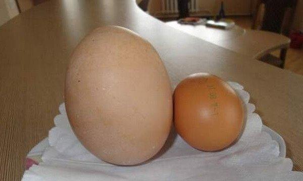 Двухжелтковые яйца порода кур обычная!