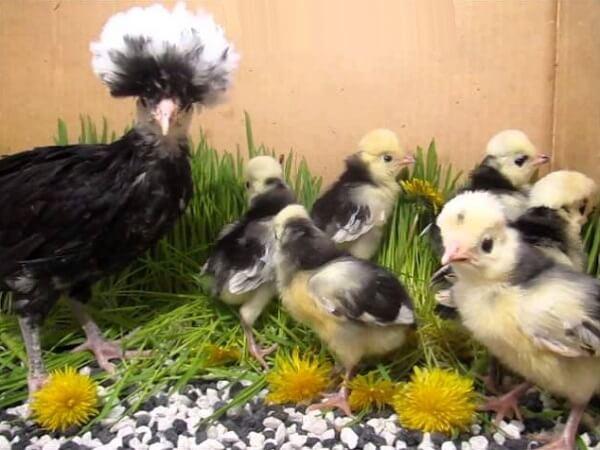 Кормление голландских кур и цыплят – рацион и нормы.