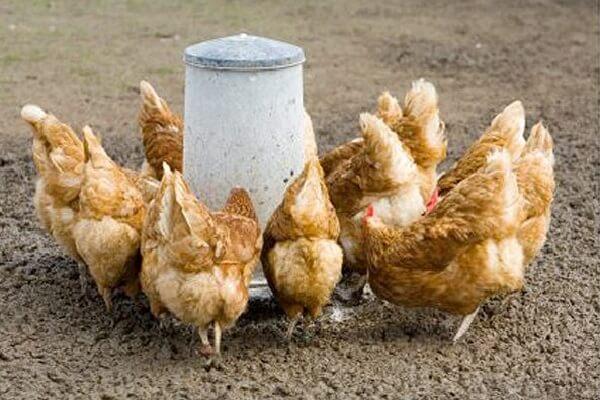 Кормление кур отрубями – как давать и в чем польза?