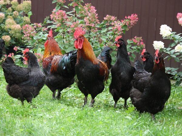 Маран порода кур – описание, фото и видео.