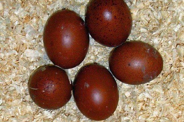 Пасхальные яйца кур породы Маран.