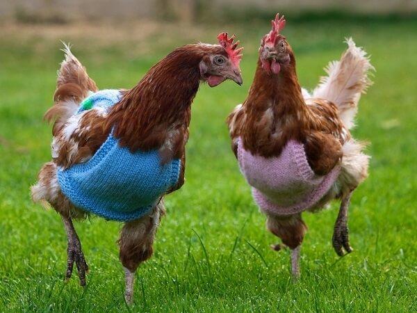 Курицы красавицы.