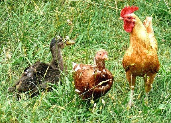 Совместное содержание кур и уток в одном курятнике.