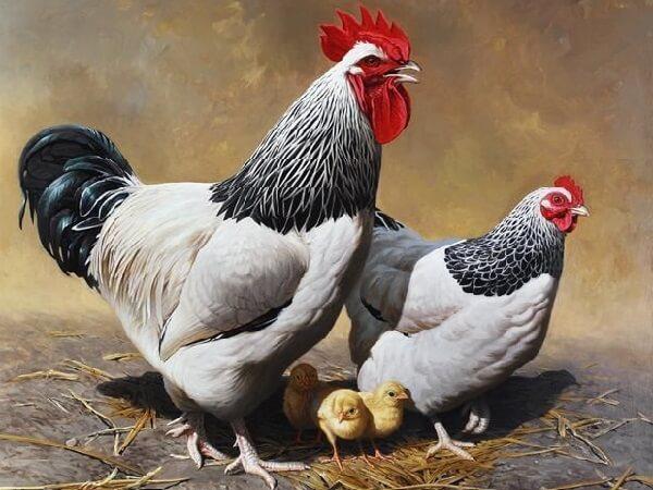 Суссекс порода кур отзывы.