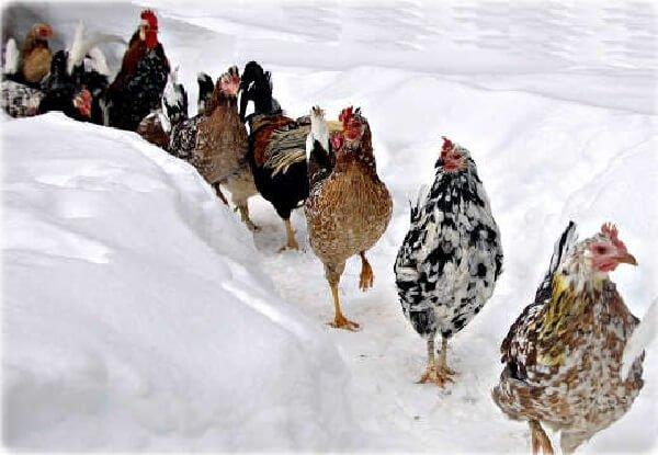 Зимнее содержание кур несушек и уход за курами зимой.