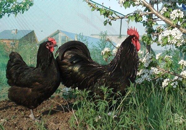 Австралорп порода кур – описание, фото и видео.