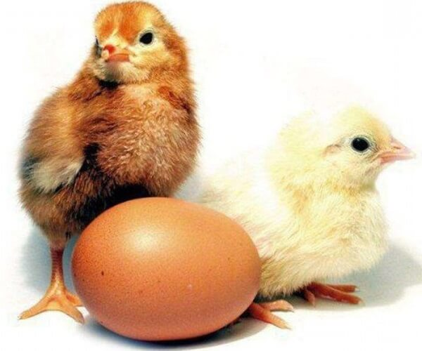 Цыплята породы Браун Ник.