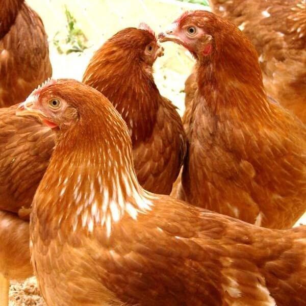 Браун Ник порода кур самая продуктивная среди несушек.