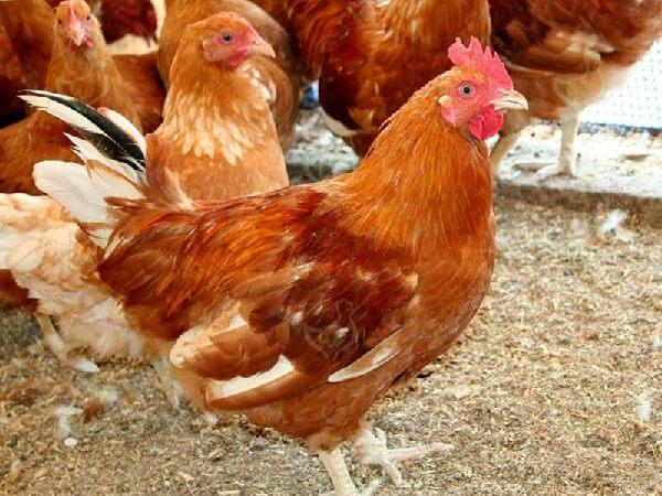 Красная белохвостая порода кур – описание, фото и видео.