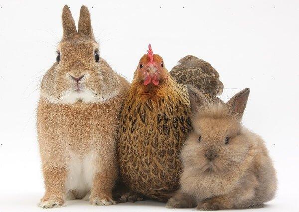 Кролики и куры совместное содержание.